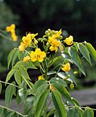 Cassia Marilandica