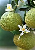 CITRUS myrtifolia,