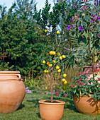 CITRUS aurantium VAR. myrtifolia,