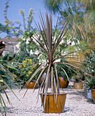 Cordyline australis 'Atropurpurea' (Keulenlilie)