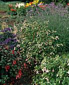 Fuchsia 'Wibke'