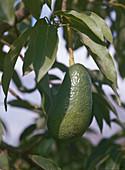 PERSEA AMERICANA (Avocado)