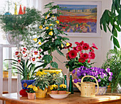 Miltonia / Orchidee, Cinerarie, ABUTILON