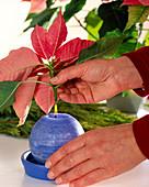 Weihnachtsstern hält länger in der Vase, wenn Schnittstelle über Kerzenflamme
