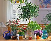 Miltonia-Orchidee, SELAGINELLA, NEOREGELIA