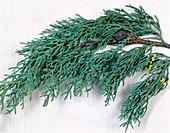 Zweige von Cupressus arizonica