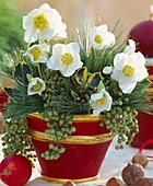 Helleborus niger / Christrose, Pinus / Kiefernzweige,