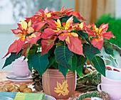 Euphorbia pulcherrima 'Fantasiesterne'