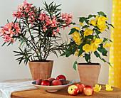 NERIUM Oleander, ABUTILON - HYBR. / Schönmalve