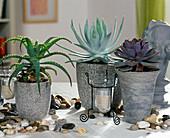 Aloe, Agave filifera, Echeveria