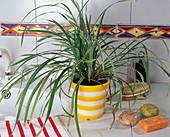 Ophiopogon jaburan (Schlangenbart) im Badezimmer
