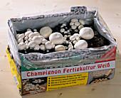 Champignonanzucht im Zimmer: gewachsene Pilze