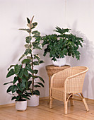 Philodendron 'Red Emerald',FICUS