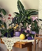 Paphiopedilum-HYBR.,Odontoglossum,Alocasia,Cattleya VUYLSTEKEARA,PHALAENOPSIS