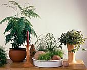 GREVILLEA robusta Schale: CYPERUS-Hybride,