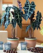 Alocasia sanderiana (Alokasie, Pfeilblatt)