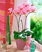 Phalaenopsis-Hybr.