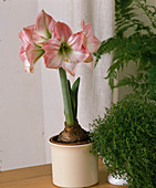 Hippeastrum Hybride 'Apple Blossom' - Amaryllis