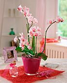 Phalaenopsis - Hybr.