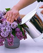 Syringa vulgaris / Flieder in kochendes Wasser stellen