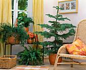 Asparagus densiflorus, Asparagus setaceus, Begonia,