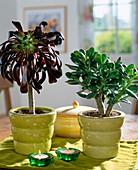 Aeonium arboreum, Crassula arborescens / Geldbaum