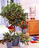 Citrofurtunella nutris / Calamondinorange, Pelargonium / Geranie