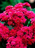 Kalanchoe blossfeldiana, purpur gefüllt