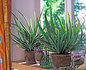 Aloe vera / Echte Aloe