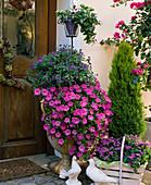 Solanum rantonnetii / Enzianstrauch, Petunia 'Pink Wave', Vinca