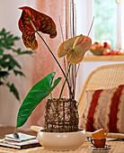 Anthurium andreanum 'Choco' und 'Cheers' / große Flamingoblume