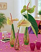 Anthurium andreanum / Große Flamingoblume,