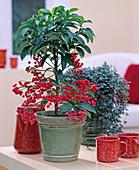 Ardisia crenata / Spitzenblume