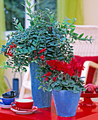 Blau / rot : Aeschynanthus 'Caroline' / Schamblume,