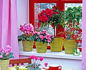 Azalea / Rhododendron simsii / Zimmerazalee