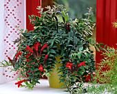 Aeschynanthus 'Caroline' / Schamblume, Asparagus