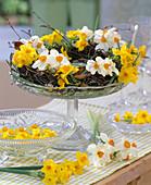 Narcissus 'Grand Soleil d'or' und 'Geranium'/ duftende