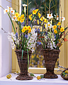 Narcissus 'Geranium' u. 'Grand Soleil d'Or', Muscari / Traubenhyazinthen