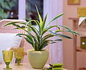 Dracaena deremensis ' Lemon Line ' / Drachenbaum im gelben Glas-