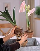 Deko mit Amaryllis: Hippeastrum / Amaryllis aus dem Topf nehmen, Erde entfernen