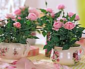 Rosa chinensis / Mini-Topfröschen in Rosentassen