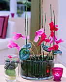 Cyclamenblüten im Glas mit Ackerschachtelhalm als Steckhilfe