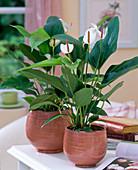 Anthurium andreanum 'Mistral' / Flamingoblume