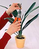 Clivia miniata / Klivie nach der Blüte nur den Samenansatz