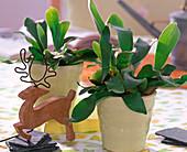 Platycerium bifurcatum / Geweihfarnjungpflanzen