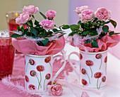 Rosa chinensis / Topfröschen mit rosa Seidenpapier