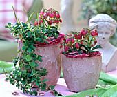 Kalanchoe 'Wendy'/ Glöckchenkalanchoe, Peperomia rotundifolia
