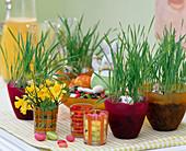 Weizen als Ostergras in Plastiktöpfen, Narcissus / Narzissen,