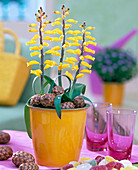 Lachenalia 'Ronina' / Kaphyazinthe, duftende Frühlingszwiebelblume