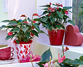 Anthurium andreanum 'Silence' / Flamingoblume am Fenster